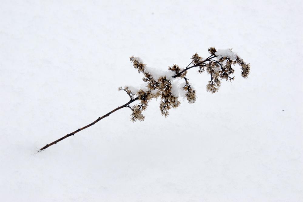 goldenrod & snow